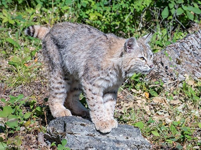 Bobcats as Pets - Do Bobcats Make Good Pets?