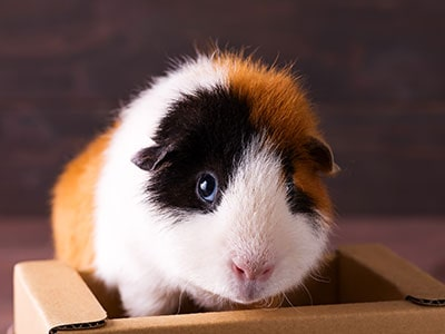 Can Guinea Pigs Eat Cardboard?