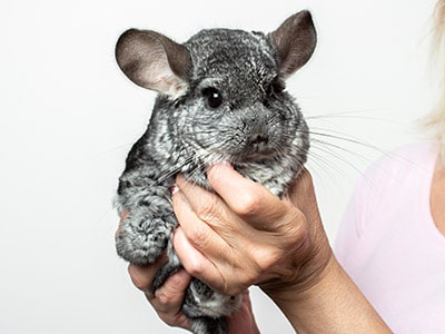 Chinchillas as Pets: Pros & Cons of Owning Chinchillas