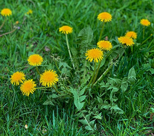 Are Dandelions Poisonous To Dogs Petblog Org