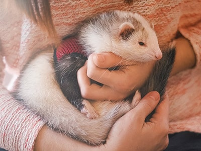 Ferrets As Pets: What To Consider Before Getting A Ferret