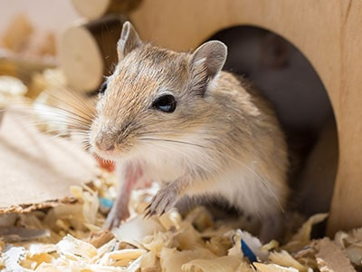 Do Gerbils Make Good Pets? - Pros and Cons of Owning a Gerbil