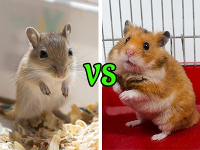 Gerbils vs. Hamsters: Which Make Better Pets?