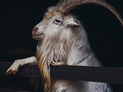 Goats With Beards: Photos Of Bearded Stylish Goats