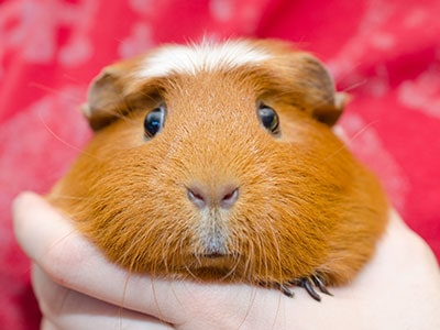 Guinea Pigs as Pets - Pros and Cons