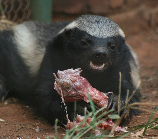 Honey Badger Eating Meat