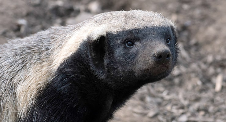 Honey Badgers As Pets - Can Honey Badgers Be Good Family Pets?