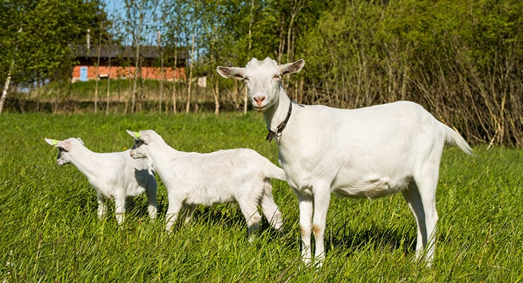 How Soon Can A Goat Get Pregnant After Giving Birth?