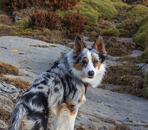 Multicolor Border Collie In Mountains