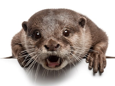 Otters As Pets - Do Otters Make Good Family Pets?