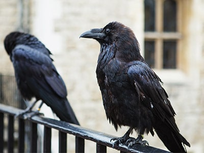 Ravens And Crows As Pets - Can They Make Good Pets?